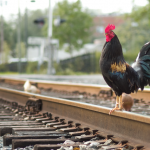 Rooster standing on railroad tracks with chickens in the background