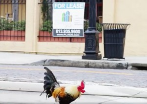 Chicken crossing road in Ybor City