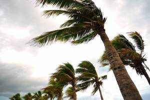 Palm tree at the hurricane