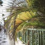 Palm tree limbs extending over metal fence