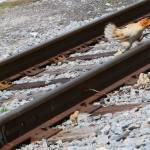 chicken with chicks crossing railroad