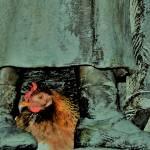 chicken hiding under a bronze statue